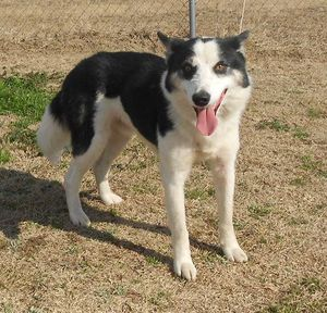 Evan, a husky/border collie mix rescued from Robeson County Animal Shelter in February 2012