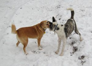 Bella, a neighbor's dog, and my foster mutt Crookytail introducing themselves at the dog park