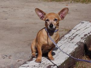 Layla, a Chihuahua mix rescued from Liberty County AC by Carpathia Paws in November 2011