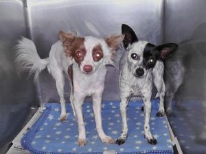 A pair of Chihuahuas abandoned in a backyard, taken to Liberty County AC, and rescued by Carpathia Paws in November 2011