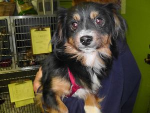 Cabot, a spaniel/Papillon mix rescued from Liberty County AC by Carpathia Paws in November 2011