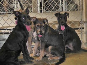 Litter of four Schnauzer puppies pulled from Liberty County AC by Carpathia Paws in September 2011