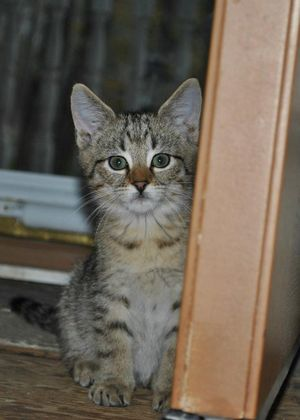 Milo, a kitten rescued by Wags and adopted in November 2011