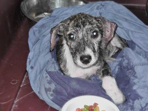 Vinnie, a 10-week-old hound mix puppy who was found covered in fleas, suffering from sarcoptic mange, and with bleeding sores on both ears. Pulled from Liberty County AC by Carpathia Paws in July 2011
