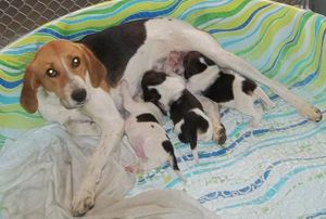 Amber, a Treeing Walker hound, pulled with all her pups from Robeson County Animal Shelter, North Carolina, by Kobi's Promise rescue in January 2012